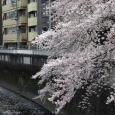Sakura2017_117