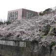 Sakura2017_118
