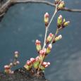 Sakura2018_007