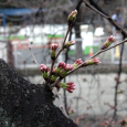 Sakura2018_005