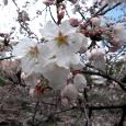 Sakura2018_024