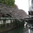 Sakura2018_018