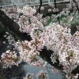 Sakura2018_031