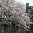 Sakura2018_032