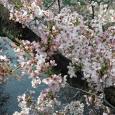 Sakura2018_041