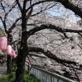 Sakura2017_084