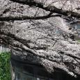 Sakura2017_088