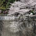 Sakura2017_093