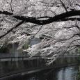 Sakura2017_112