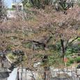 Sakura2017_142