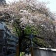Sakura2017_141