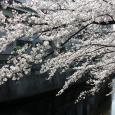 Sakura2017_061
