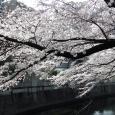 Sakura2017_063