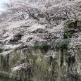 Sakura2017_077