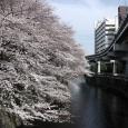 Sakura2017_104