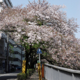 Sakura2017_126