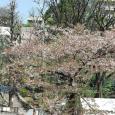 Sakura2017_130