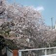 Sakura2017_129
