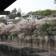 Sakura2018_049
