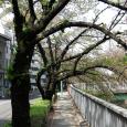 Sakura2018_084