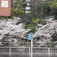 Sakura2019_043