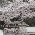 Sakura2019_048