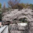 Sakura2019_057