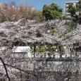 Sakura2019_060