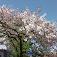 Sakura2019_075