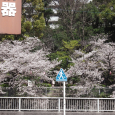 Sakura2019_069