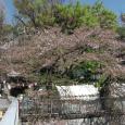 Sakura2019_071