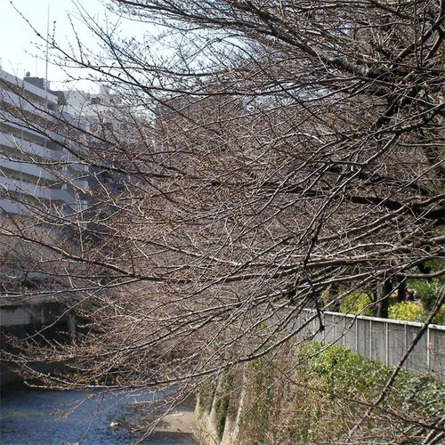 Sakura0318_2