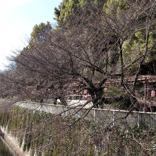 Sakura0320_2
