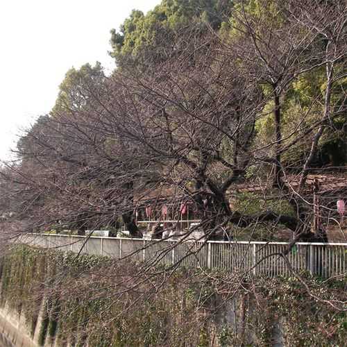 Sakura0322_2