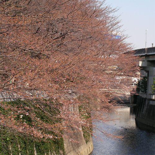 Sakura0323_3