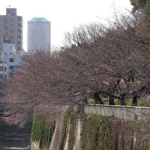 Sakura0323_4