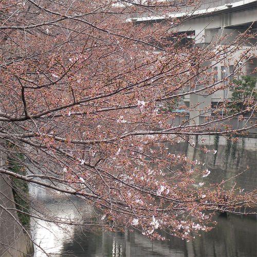 Sakura0324_3