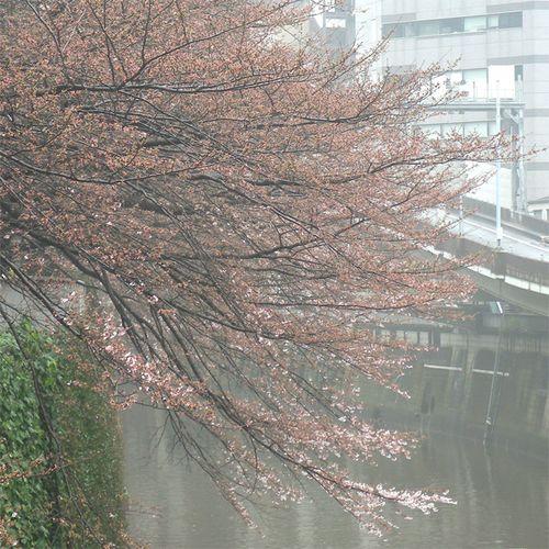 Sakura0325_2