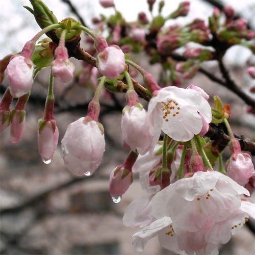 Sakura0325_3