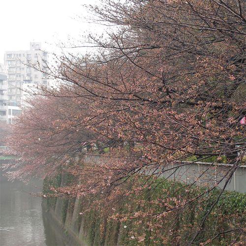 Sakura0325_4