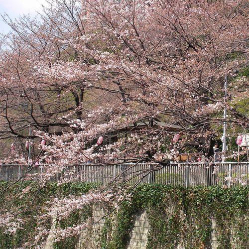 Sakura0326_1