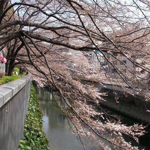 Sakura0326_2