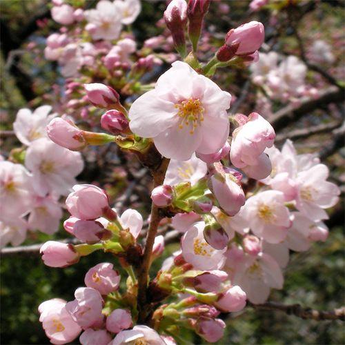 Sakura0326_3
