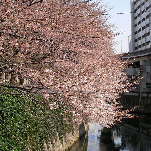 Sakura0326_4