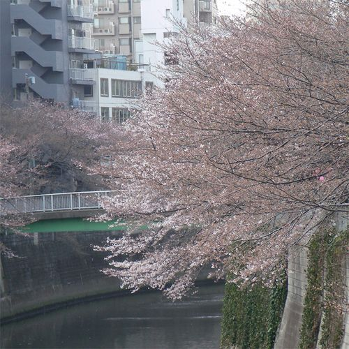 Sakura0326_5