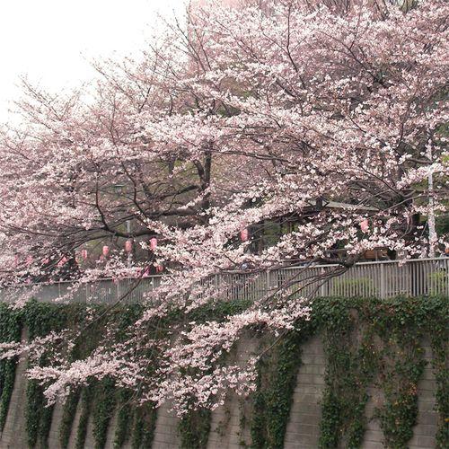 Sakura0327_1