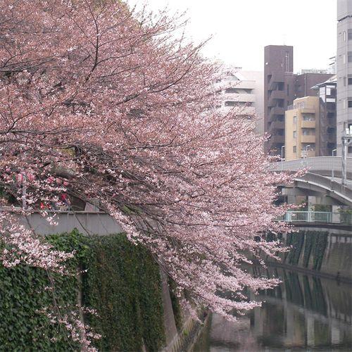 Sakura0327_2