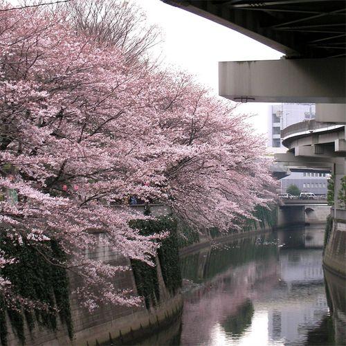 Sakura0327_3