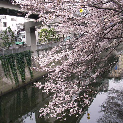 Sakura0327_4