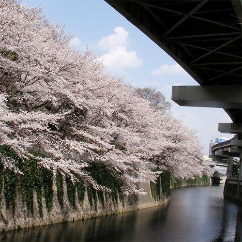 Sakura0329_1
